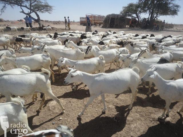 Sheep measles kills dozens of livestock in Mudug region
